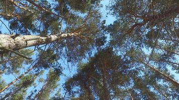 caminando por el bosque de pinos. día soleado de invierno.