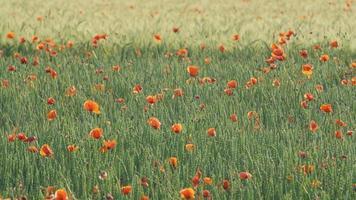 amapolas en un campo de trigo verde