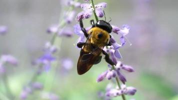 visão macro de abelha carpinteira coletando pólen da flor de sálvia roxa