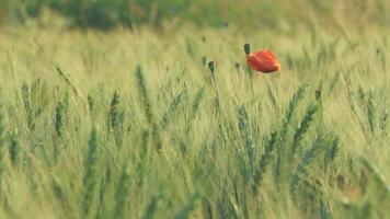 einzelne Mohnblume in einem grünen Weizenfeld video