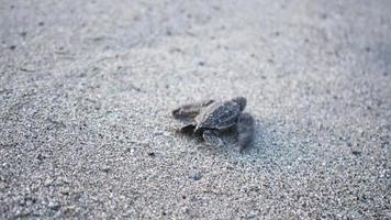 Leatherback turtle hatchling scuttles down beach to sea, Trinidad, Trinidad and Tobago
