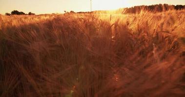 ruhiges Bild des goldenen Weizens bei Sonnenuntergang video