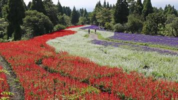 Clip de lapso de tiempo del campo de flores de salvia
