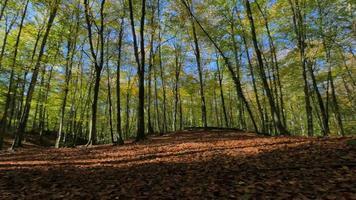 caminando por campos de hayas a principios de otoño