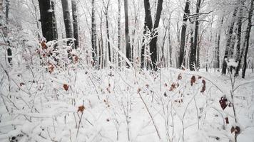 Légère neige tombant dans une belle forêt couverte de neige, caméra en mouvement révélant une scène d'hiver
