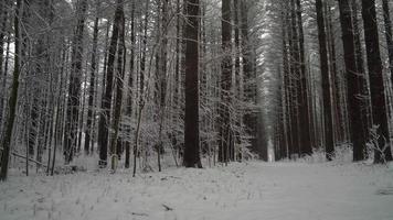 Hermoso bosque de pinos rectos y altos en el invierno mientras cae nieve fresca video