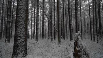 Grúa cinematográfica rodada en un bosque de pinos mientras cae nieve revelando hermosos árboles cubiertos de nieve video