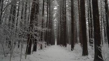 Kamera bewegt sich im Winter zwischen hohen geraden Kiefern den Weg hinunter
