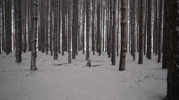 Caméra se déplaçant à travers de grands pins couverts de neige dans la forêt d'hiver