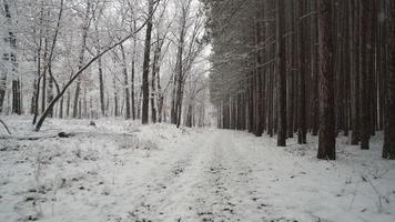 marcher sur un sentier enneigé le long de la lisière de la forêt de pins alors que la neige fraîche tombe