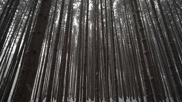 Pan jusqu'à la canopée dans la forêt d'hiver de grands pins alors que la neige tombe