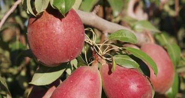 Bündel Birnen, die auf einem Obstbaum wachsen