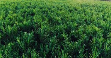 Volo aereo 4 k sopra il campo di canna da zucchero verde lussureggiante
