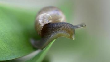 Snail looking downward on a leaf video