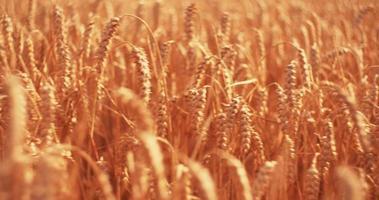 Ernte von goldenem Weizen in einem Maisfeld video