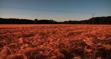 Ernte des wehenden goldenen Weizens in einem Maisfeld