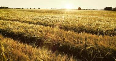 vista aérea de um campo de trigo video