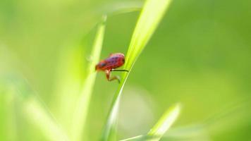 petit bug rouge