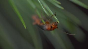 4k Ultra Close Macro of bug hanging from pine needle
