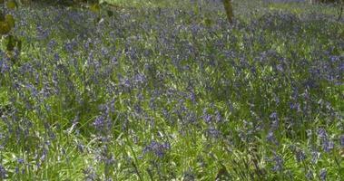 Waldgebiet der Frühlingsglockenblumen in voller Blüte
