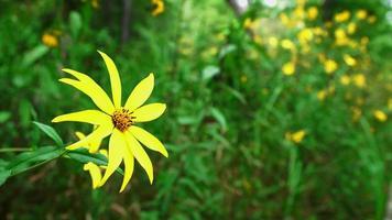 gelbe Herbstblume, die sanft im Wind weht