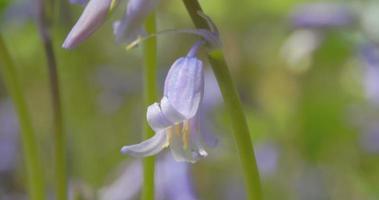 Makro-Nahaufnahmeaufnahme der Frühlingsglockenblumen in voller Blüte