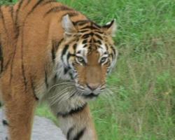 tigre siberiana in agguato video