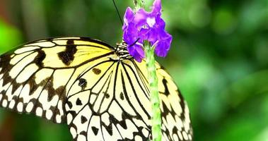 White and Black Butterfly, Idea Leuconoe on Purple Flower