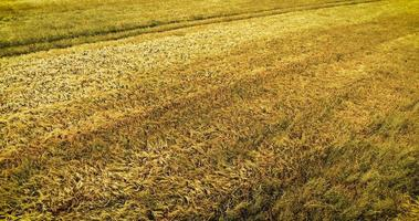 Aerial view of a wheat field