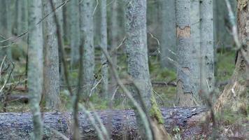 árvores em decomposição caídas pelo vento em uma floresta coberta de musgo video