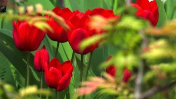 Many red Tulips in the garden with green natural background