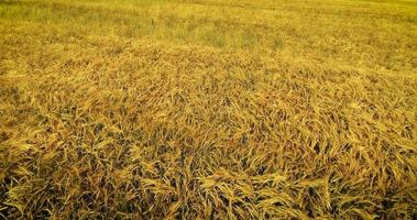 Luftaufnahme eines Weizenfeldes video