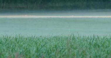 Primer plano de lapso de tiempo de un campo de hierba cubierto de rocío durante el amanecer video