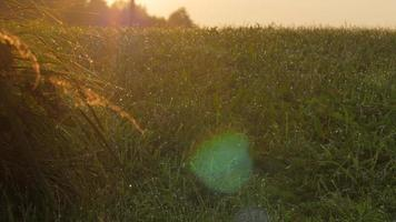 Dew on a green lawn during sunset