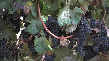 uva okanagan pronta per il raccolto