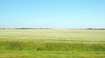 pov: spostarsi lungo un campo agricolo con fiori bianchi fino all'orizzonte ad altai, russia