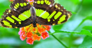 Green Spotted Triangle or Tailed Jay Butterfly on Flower