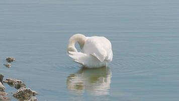 White swan in the water near the shore