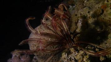 estrella de mar de plumas en la noche