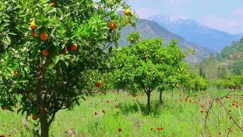 Winterwechsel, Frühling kommt, Orangenbäume über schneebedeckten Gebirgshintergrund