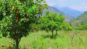 Winter change, Spring coming, orange trees over snowy mountain background video