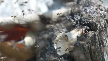 abejas sin aguijón volando alrededor de su colmena