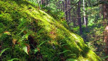 Mousse douce et plantes de fougère dans la nature, macro close up forêt tropicale