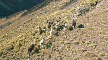 4k Luftbild Stall Lama Laufen Berge See Bolivien Österreich Pico video