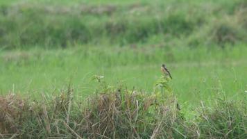 uccello di chiacchierata di pietra che riposa nel campo