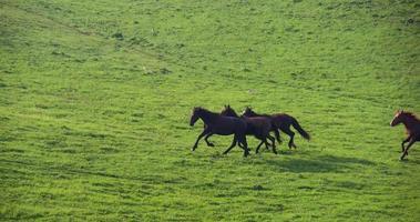 chevaux dans les contreforts verts