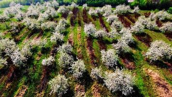 Aerial view of beautiful blossoming apple-tree garden
