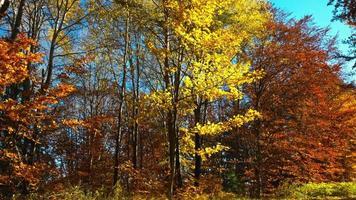 otoño hojas de otoño en el bosque video