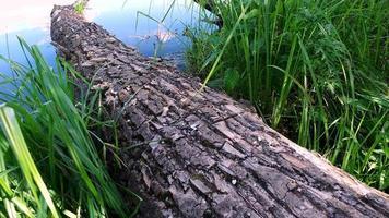 un gran árbol muerto cayó en el agua del estanque