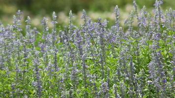 flores de sálvia azuis tremendo com o vento